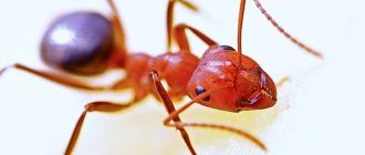 Как избавиться от рыжих муравьев в квартире навсегда