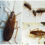 морить тараканов в Балашихе