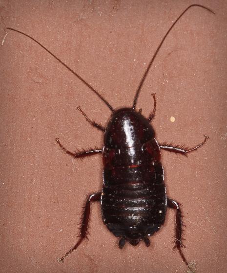 Огромные тараканы в квартире